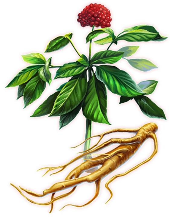афродизиак - корень женьшеня