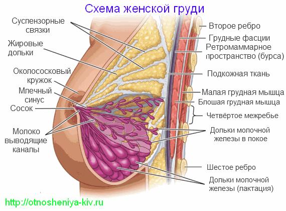 схема женской груди