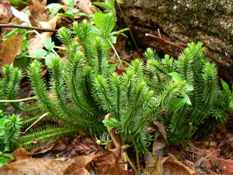 трава плаун-баранец