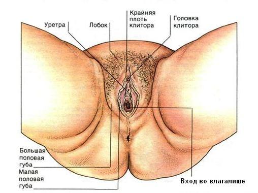 строение половых органов женщины